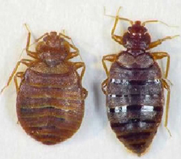 Bed bugs up close