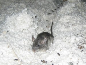 Mouse in insulation of a home