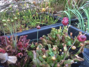 These native pitcher plants (Sarracenia purpurea) will be in bloom just in time for EPA's Flower Show exhibit.
