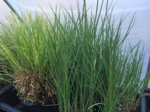 Carex lacustris is a sedge native to the mid-Atlantic that can be used as an alternative to many of the invasive asiatic species used in landscaping